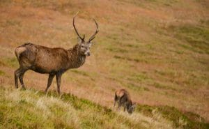 A stag on our tour